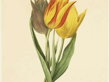Tulipe de Gesner (Parrot Tulip) ( from Redouté,