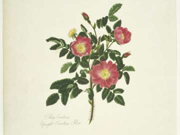 Rosa Carolina/ Upright Carolina Rose (Pl. 36 from Lawrance,