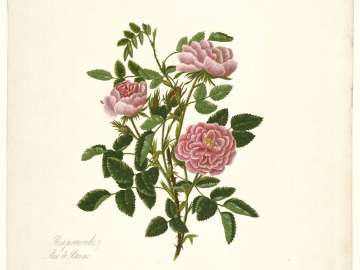 Rosa Provincialis/Rose de Rheims (Pl. 71 from Lawrance,