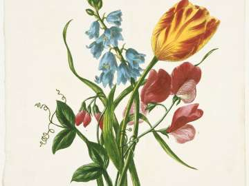 Spanish Squil, Tulip, Sweet Pea (Plate from Lawrance,