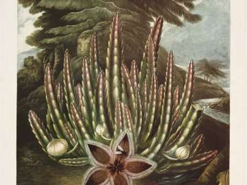 The Maggot-bearing Stapelia (Pl. 23 from Dr. Robert John Thornton,