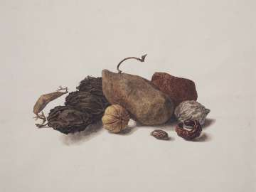 Study of Nut Shells, roots, etc.
