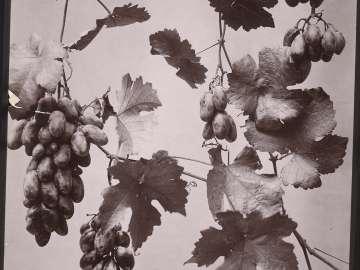 Malaga Grape