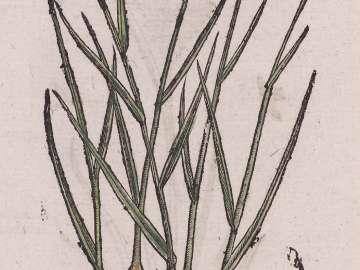 Grame Noüeux (Gnarled Grass)