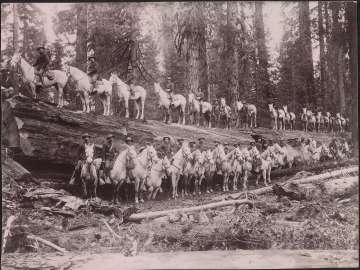 US Army Cavalry Regiment with Horses Standing on Giant Cedar