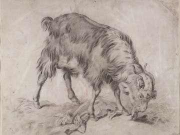 Study of a Goat