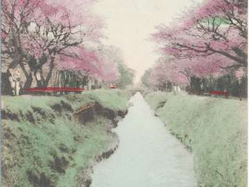 Cherry Blossoms at Koganei, Tokyo