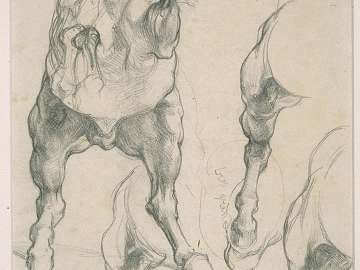 Anatomical Studies of a Horse for