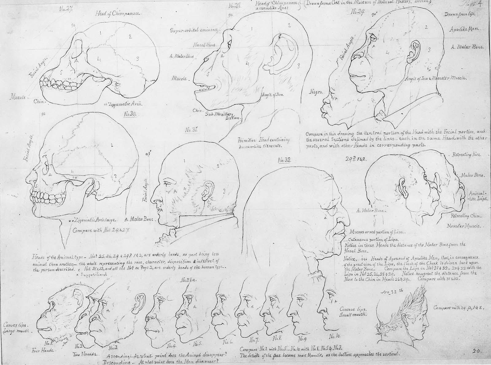 Comparison Of Men Ape Heads From Art Anatomy Museum Of Fine
