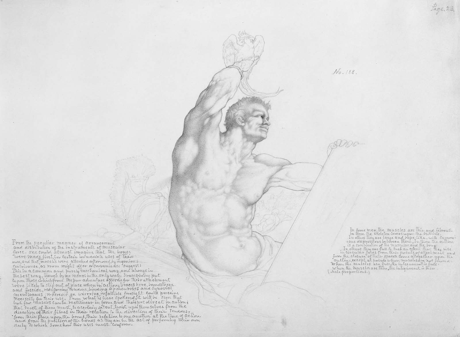 Man With Bird Displaying Muscles From Art Anatomy Museum Of