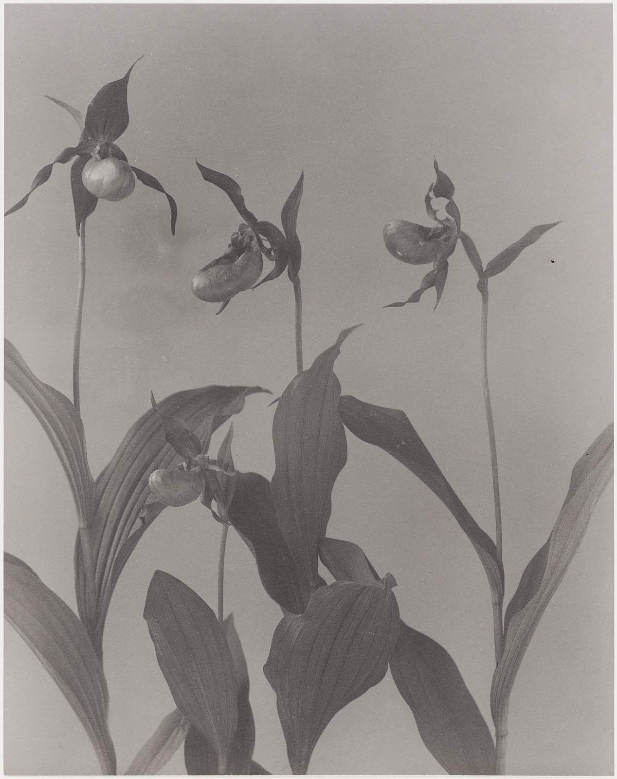 Cypripedium Parviflorum Small Yellow Ladys Slipper From Wild