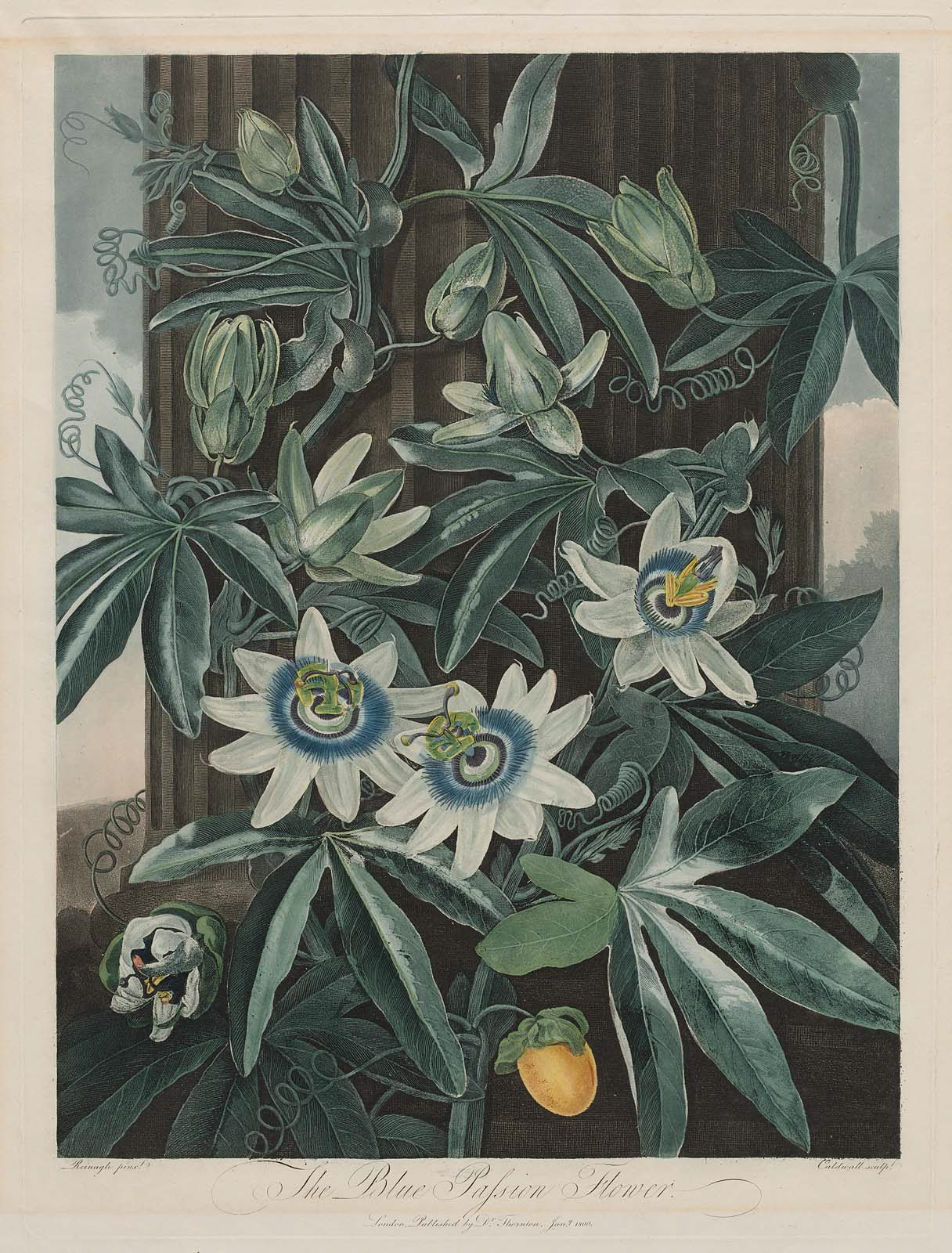 The Blue Passion Flower Passiflora Caerula Pl 17 From Dr Robert