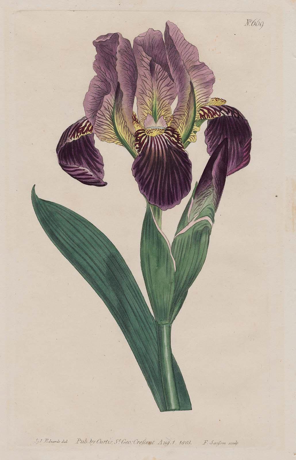 Dingy Flag Iris Iris Lurida Plate 669 From William Curtis The