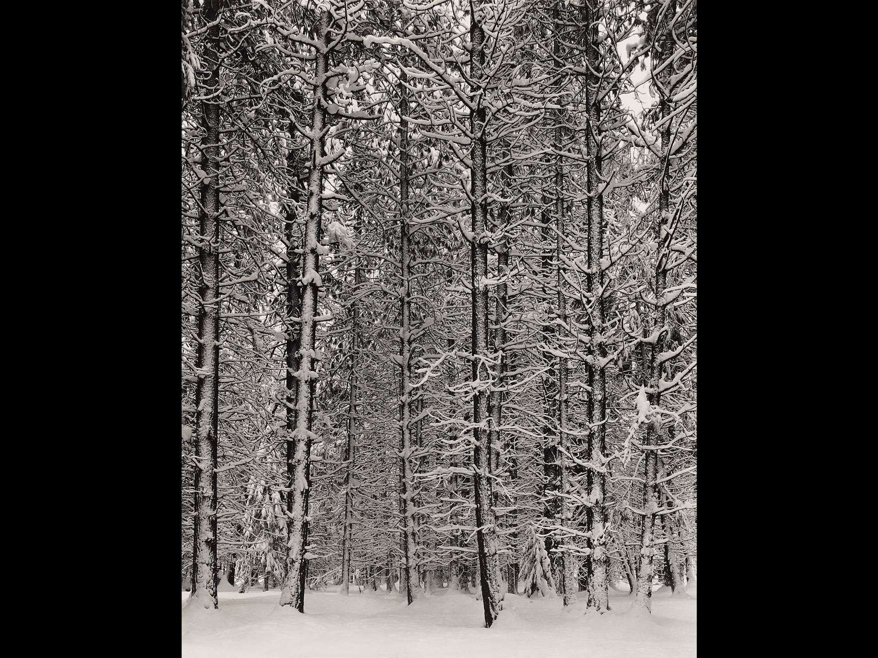 Ansel Adams' photograph, Pine Forest in Snow, Yosemite National Park