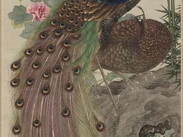 Peacock on Rocks