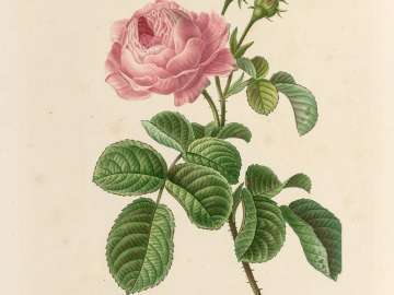 Rosa centifolia (T. 7, No. 12 from  Redouté,