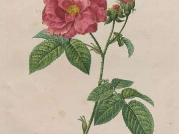 French Rose (Rosa Gallica/ Rosier de France), t. 7, no. 8 of