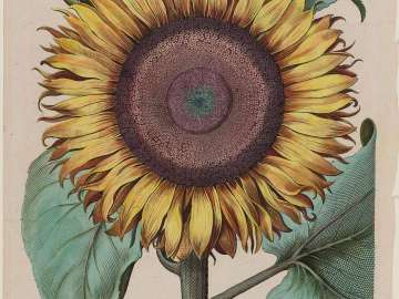Large Sunflower (Flos Solis Maior), plate 1 from part 5, B. Besler,