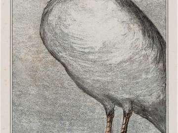 Herring Gull (1908 Calendar: March)