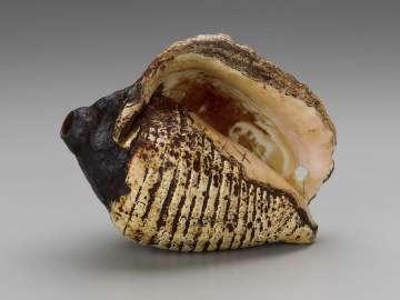 Shell trumpet (pututu)