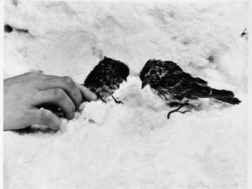 Two frozen birds, Redpoll and Lapland Longspur, at 12,000 foot camp on Mount McKinley, nearby, Alaska