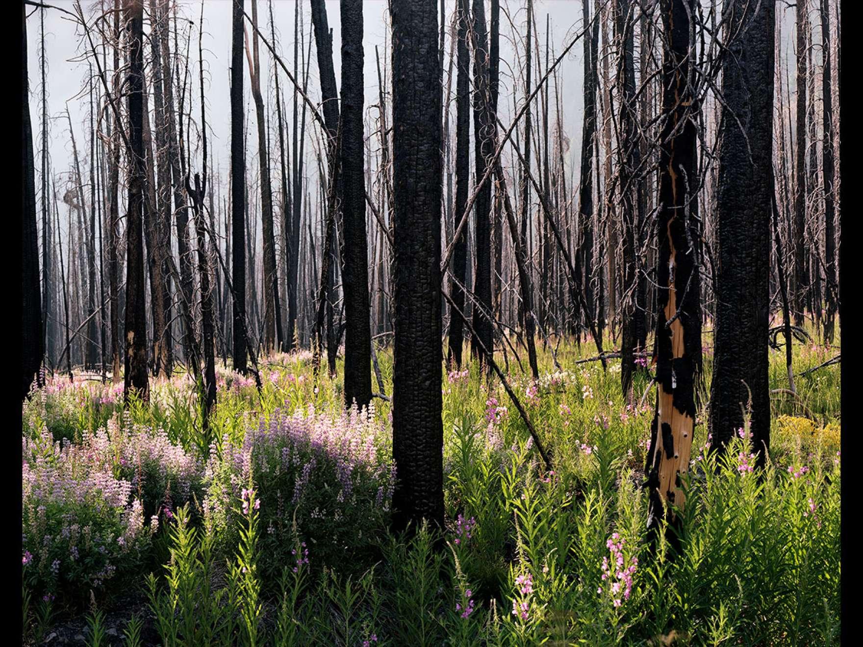 Laura McPhee's photograph, Midsummer (Lupine and Fireweed)