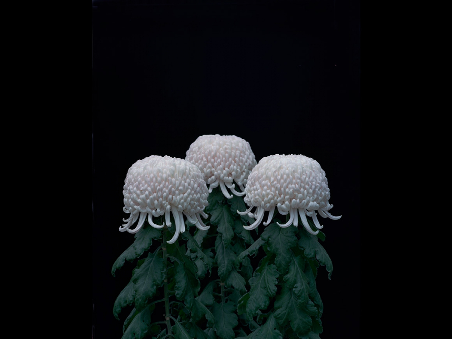 Tomoko Yoneda, Chrysanthemums from the series Cumulus, 2011